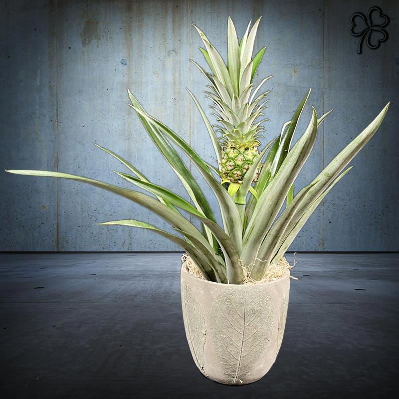Composizioni floreali di Ananas tropicale della famiglia delle Bromeliaceae in vaso artigianale con foglie in rilievo.