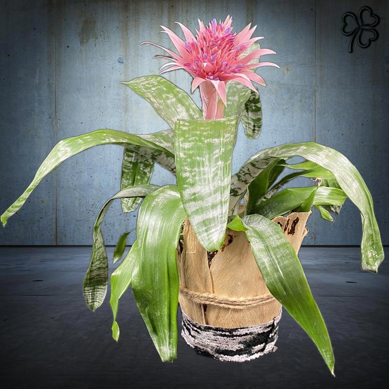Composizioni floreali di Aechmea Fasciata fucsia confezionata in fibra naturale e decorazioni tessuti di pregio.