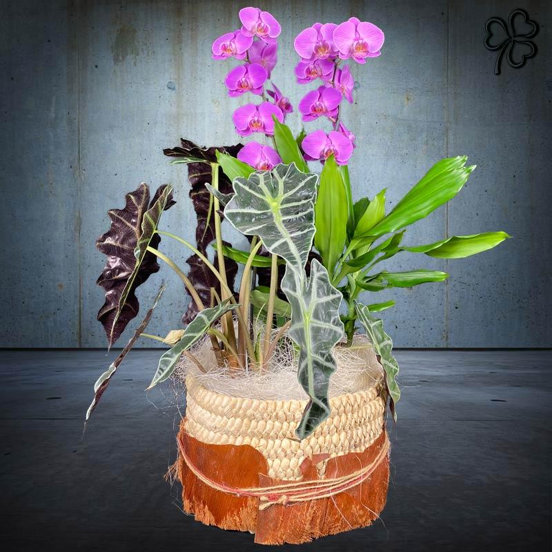 Composizioni floreali di piante tropicali - Orchidea Phalaenopsis fucsia bi-ramo, Dracena Fragrans, Alocasia.