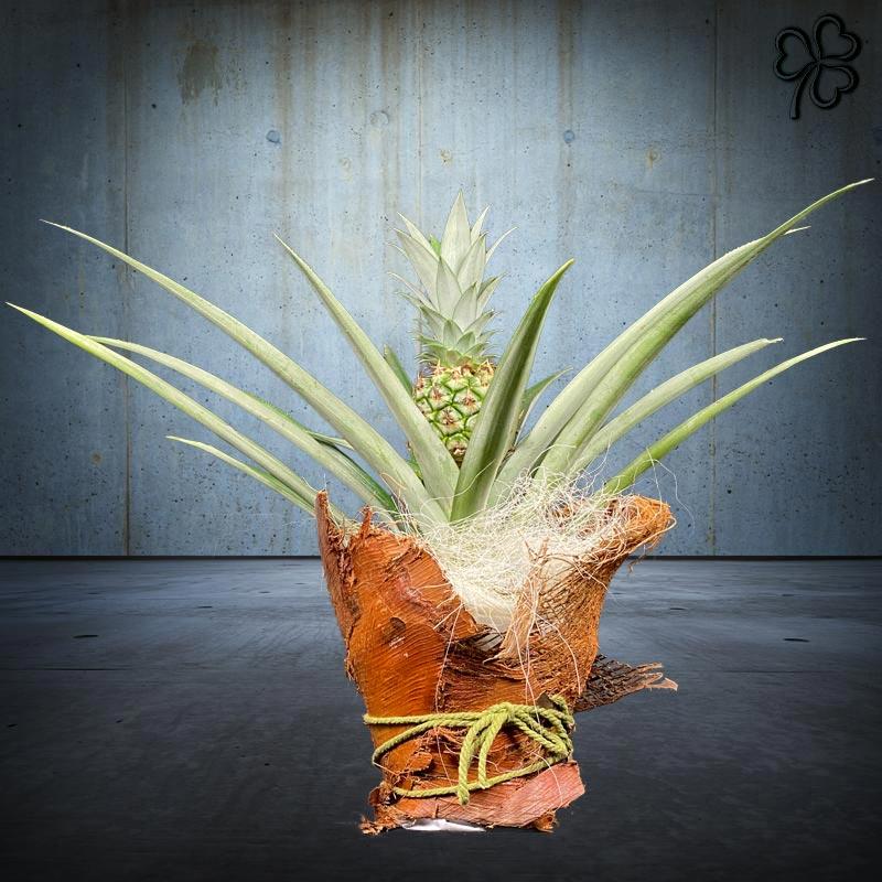 Composizioni floreali di Ananas tropicale della famiglia delle Bromeliaceae confezionata con fibra di cocco naturale e corda naturale.