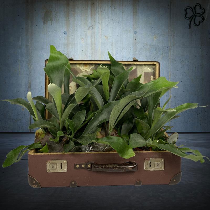 Composizioni floreali di Platycerium (felce preistoriaca detta Corna D'Alce) in Valigia Vintage marrone