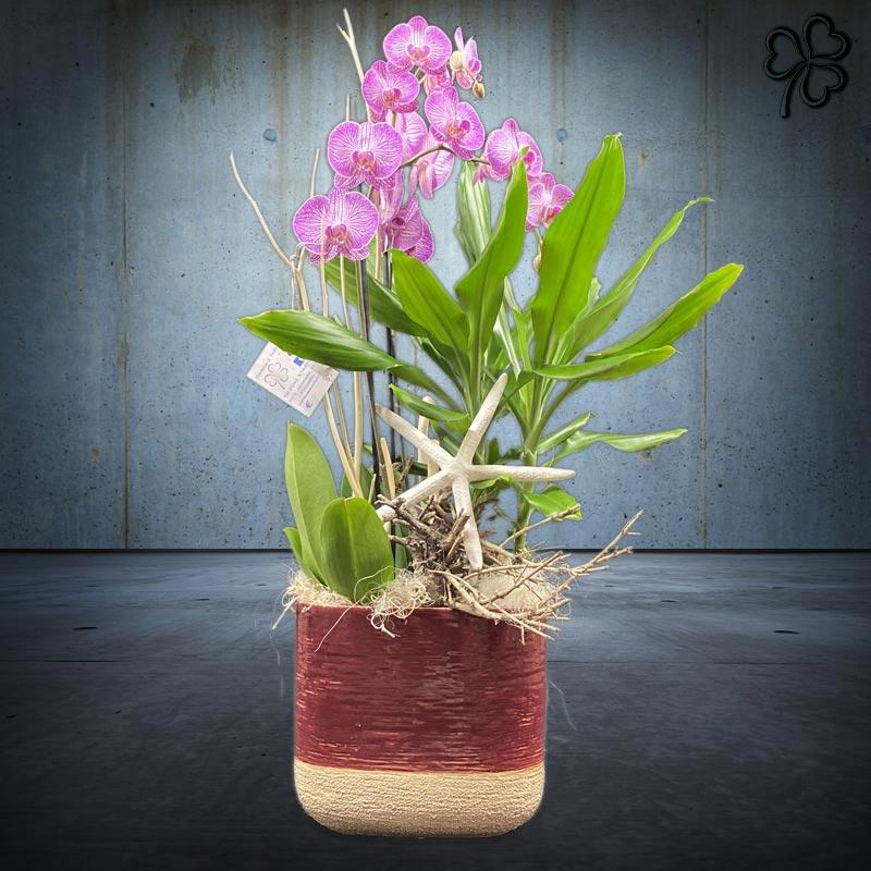 Composizioni floreali di piante tropicali - Orchidea Phalaenopsis fucsia striata bi-ramo, Dracena Fragrans- in vaso smaltato bordeaux.