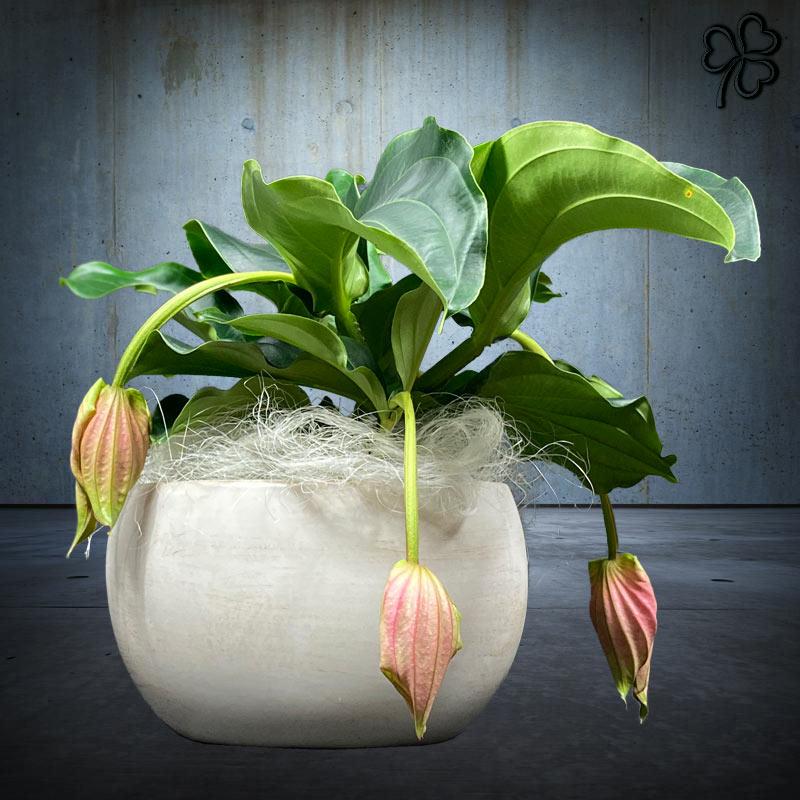 Composizioni floreali di Medinilla Magnifica in vaso ovale in ceramica italiana color sabbia.