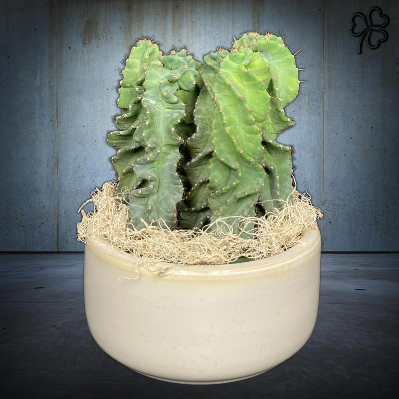 Composizioni floreali di Foresta di Cereus Cactus Peruvianus tortuosus in vaso di ceramica italiana.